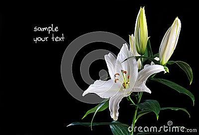 Weiße Lilie auf Schwarzem
