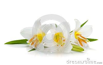 Weiße Lilie drei