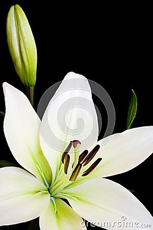 Weiße Lilie mit Exemplarplatz