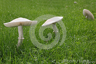 Weiße Pilze auf Rasen