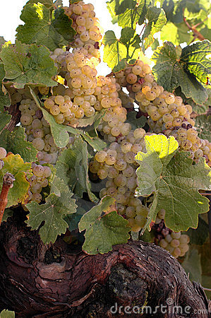 Weißer Wein-Rebe