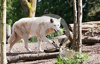 Weißer Wolf auf dem Prowl