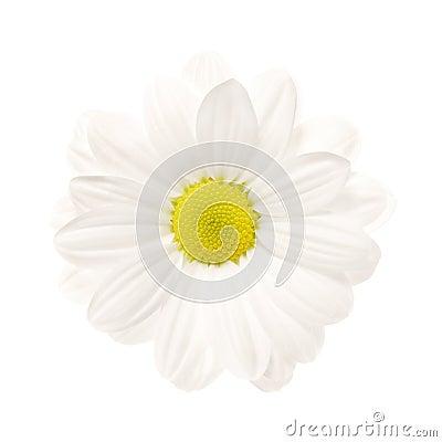 Weißes Gänseblümchen trennte
