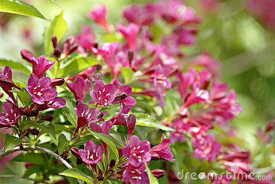 Weigela Shrub