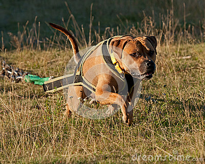 Weight pull for American stafforshire terrier