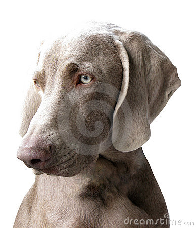 Weimaraner coloring pictures free coloring pages for Weimaraner coloring pages
