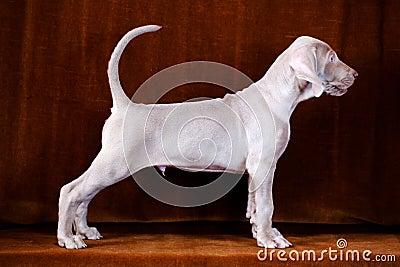 Weimaraner blue puppy