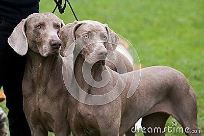 Weimaraner breed dogs couple