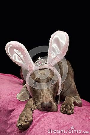 Weimaraner bunny