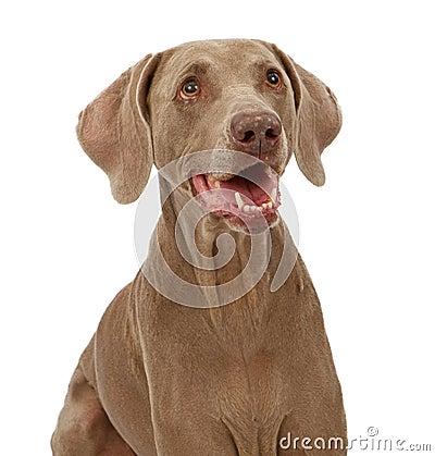Weimaraner Dog Close-up