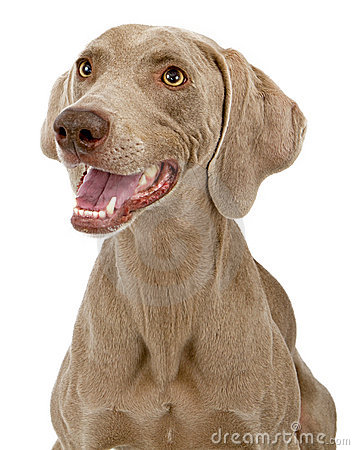 Weimaraner Dog Closeup