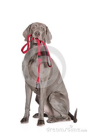 Free Weimaraner Dog Holding A Leash Stock Photos - 67665263