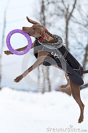 Weimaraner dog play