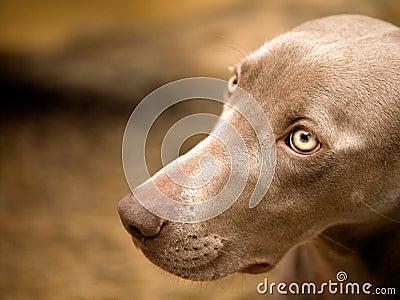 Weimaraner dog portrait