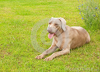 Weimaraner dog resting on green spring grass