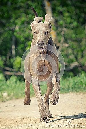 Weimaraner dog run