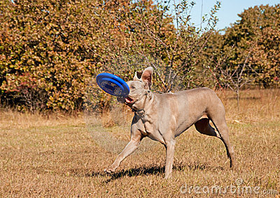 Weimaraner dog running with a frisbee