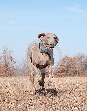 Weimaraner dog running at full speed