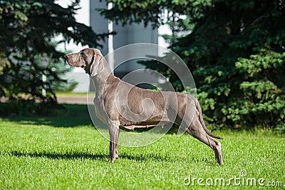 Weimaraner on dog show