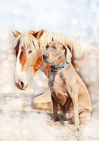 Free Weimaraner Dog Sitting Next To His Resting Friend Stock Photo - 26512320