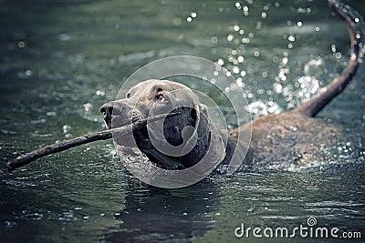 Weimaraner dog swim