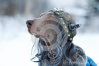 Weimaraner dog viking