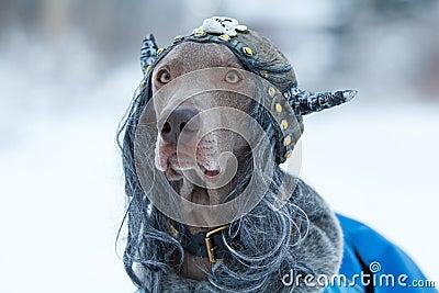Weimaraner dog viking