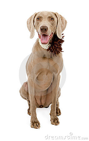 Weimaraner Dog Wearing Flower Collar