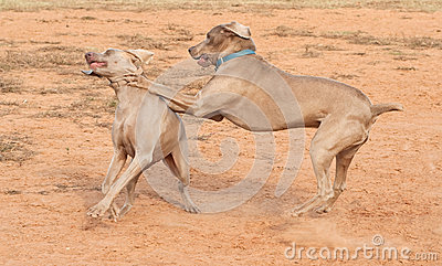 Weimaraner dogs playing hard