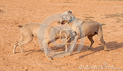 Weimaraner dogs playing and having fun