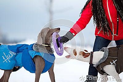 Weimaraner and ibizan dog