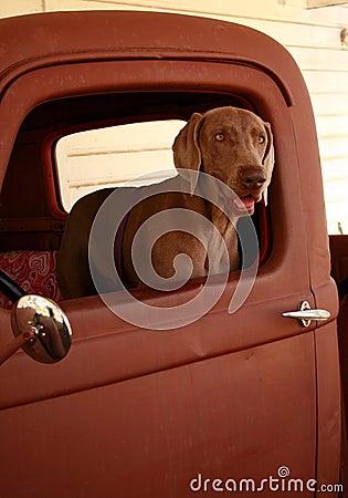 Free Weimaraner In Old Truck Stock Image - 1995111