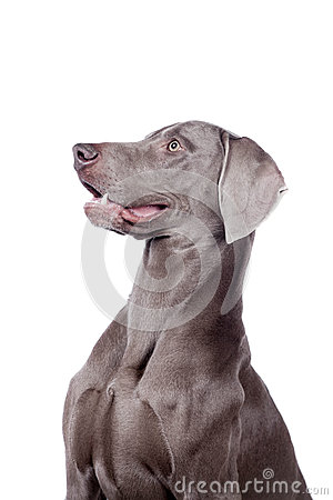 Weimaraner isolated on white