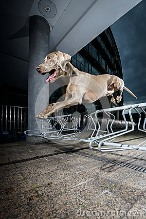 Weimaraner jumping a metal obstacle