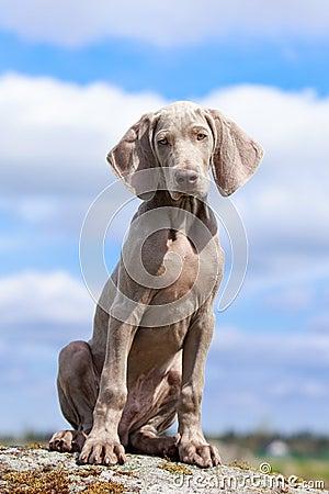 Weimaraner puppy portrait