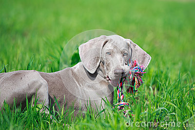 Weimaraner puppy with toy