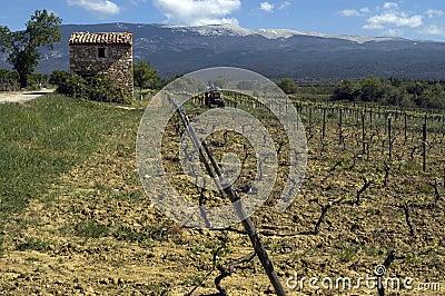 Weinberg am Mont Ventoux, Provence, Frankreich