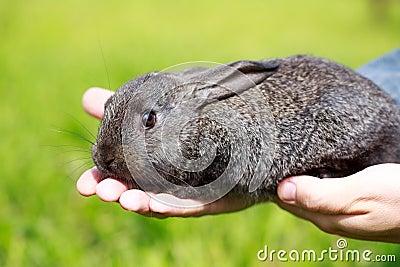 Weinig grijs konijn