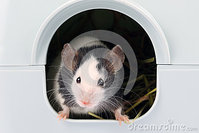 Weinig muis die het is gat komen uit