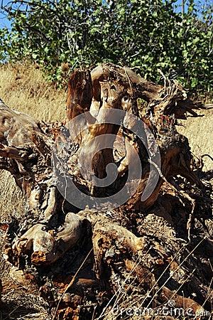 Weird shaped root