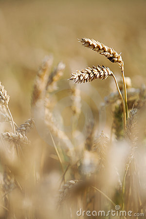 Weizengetreide auf dem Gebiet