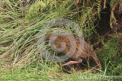 Weka in high grass