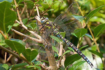 Well camouflaged dragonfly