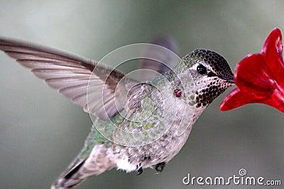 Well Fed Hummingbird