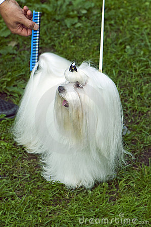 Well-groomed Maltese lap-dog Editorial Photo
