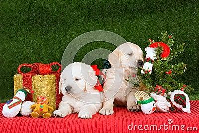 welpen des goldenen apportierhunds mit weihnachtsbaum. Black Bedroom Furniture Sets. Home Design Ideas