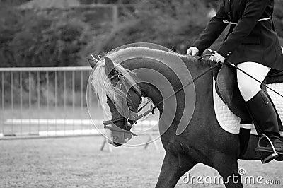 Welsh B Pony