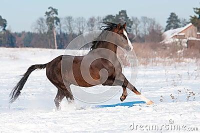 Welsh brown pony stallion runs gallop, winter