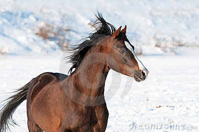Welsh brown pony and wind in winter