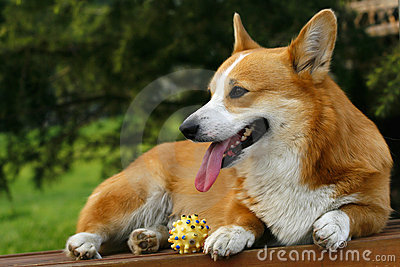 Welsh Corgi on the long chair
